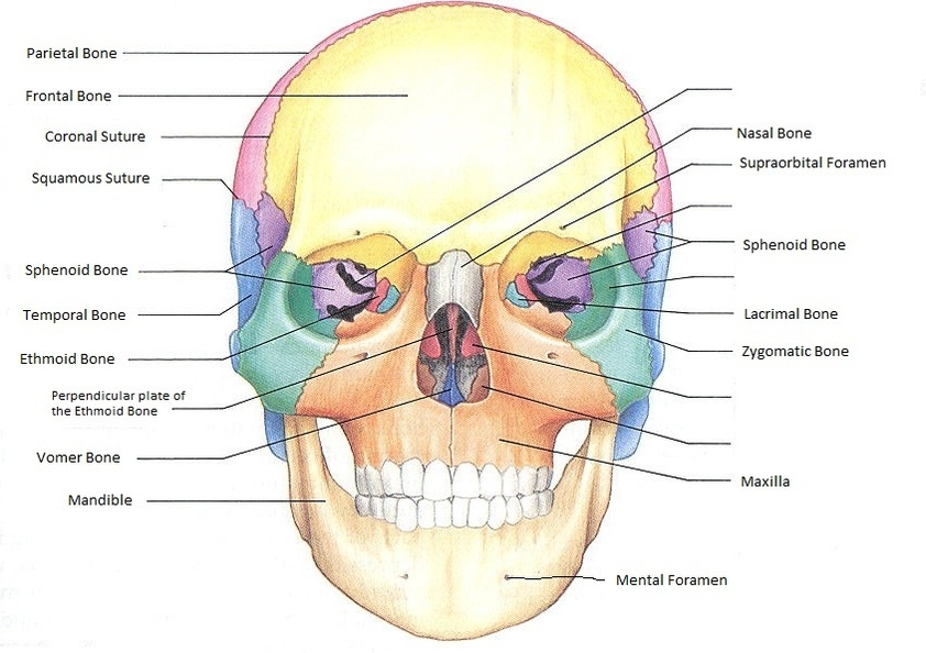 skull - ben's anatomy website, Human Body