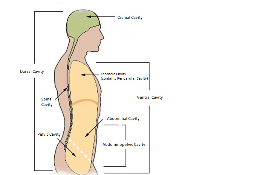 Body Cavities on cranial circulatory system