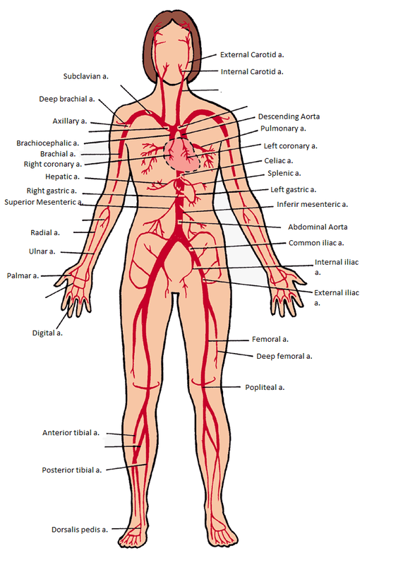 Arteries And Veins Bens Anatomy Website