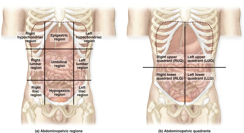 Regions Of The Abdominal Area