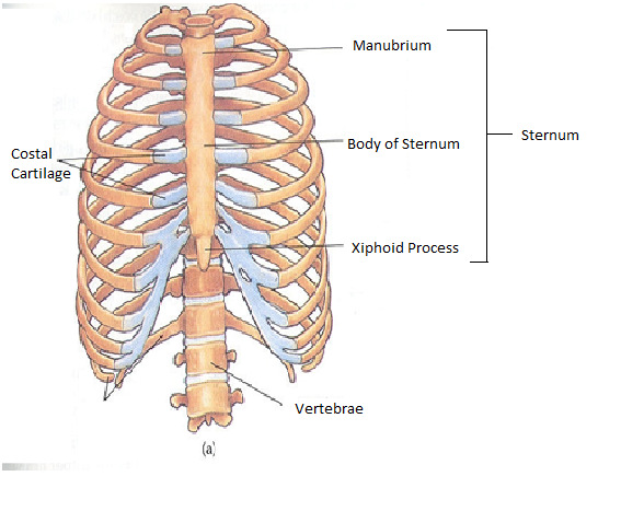 Anatomy of the ribs and sternum