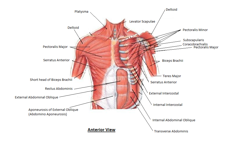 Muscles Of The Chest And Abdomen on brain directional terms