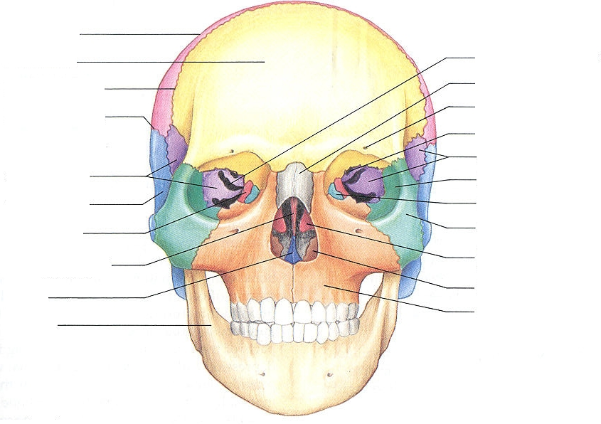 Skull - Ben\'s Anatomy Website