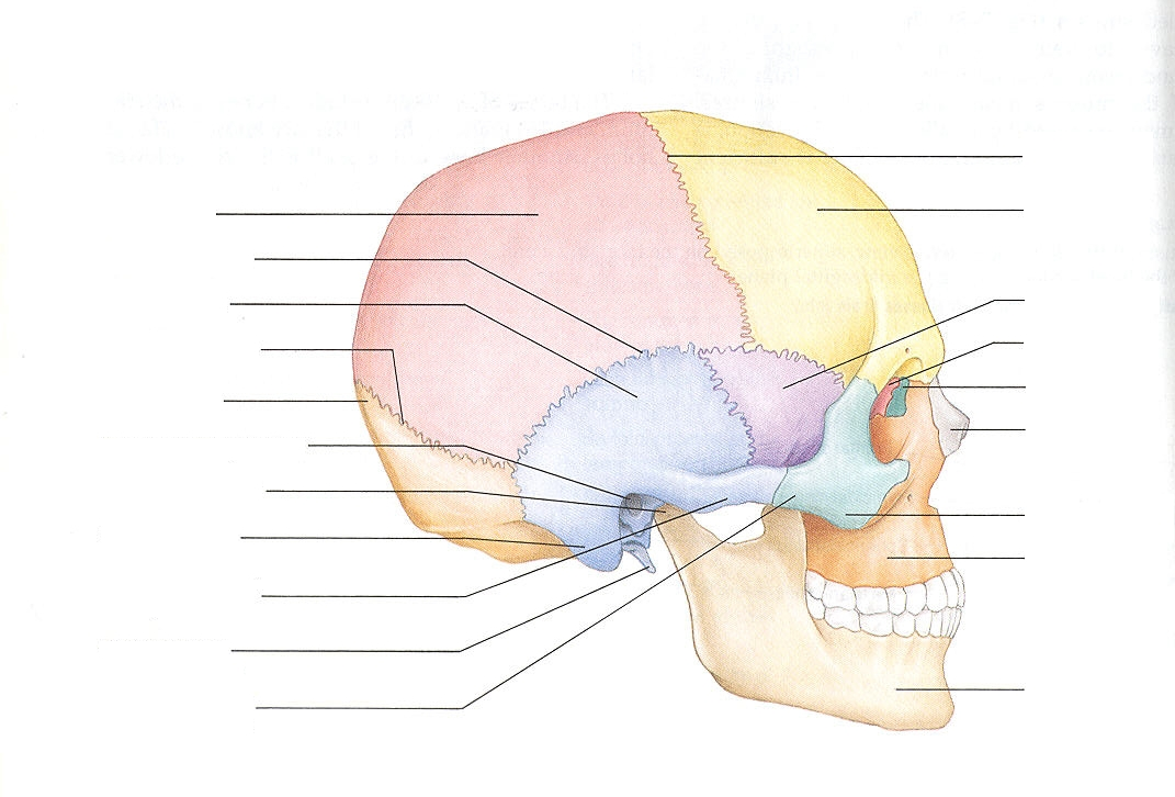 Head anatomy diagram