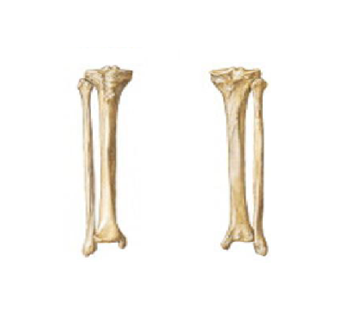 Tibia And Fibula Bens Anatomy Website